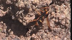 Digging wasp (mgjefferies) Tags: wasp digging potter australia queensland broadwater hymenoptera mgjefferies