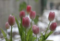 Tulips in the snow (mennomenno.) Tags: pink snow tulips sneeuw tulpen roze