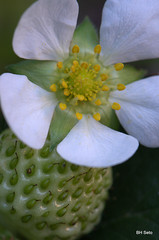 Strawberry and flower (setoboonhong ( Back & catching up )) Tags: flower macro evening petals strawberry stamens pollen