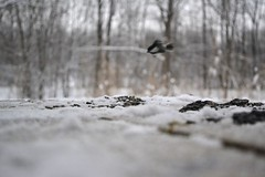 dive bomber chickadee (ktLaurel) Tags: park winter snow bird fly blurry woods