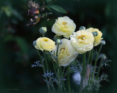 I dreamed a dream (loobyloo55) Tags: flowers flower nature yellow canon lemon flora ranunculus 100mm f28 floraandfauna canoneos7d