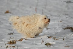 Beschleunigung auf Highspeed (buchsammy) Tags: schnee winter dog speed canon action joy hund bichon mika rennen haustier januar freude havanese 2013 rassehund havaneser riedsee eos7d beschleunigen blinkagain hüfingen flickrstruereflection1