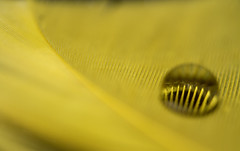2-1-13b (CareBearQuelly) Tags: macro yellow waterdrop feather day32 day32365 3652013 365the2013edition 01feb13