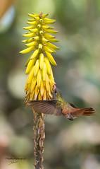 colibri-3 (P-B-fotografie) Tags: animal animals bird birds colibri feeding flowers flying nature oiseau peru picaflor vogel wild wildlife yellow