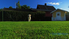 Kommer snabbt! (J Tube-Films) Tags: leker busar scooby golden retriver söt gullig puppy valp valpar hund hundvalpar rörelse sport springer