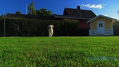 Kommer snabbt! (J Tube-Films) Tags: leker busar scooby golden retriver st gullig puppy valp valpar hund hundvalpar rrelse sport springer