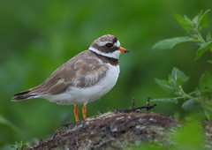 Ringed Plover (Martial2010) Tags: ringed plover north uist outer hebrides scotland canon