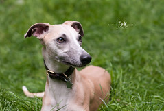 Dog Photography/Whippet (www.natashaballettaphotograhy.com) Tags: whippet dogphotography dogphotographer dogphotographylondon petphotography