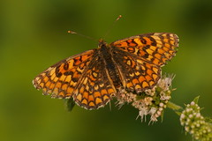 Old Melitaea deione (JoseDelgar) Tags: josedelgar insecto mariposa melitaeadeione contactgroups coth ngc npc coth5 platinumheartaward sunrays5 thegalaxy