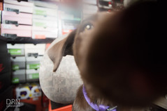 Hazel. (dunksrnice) Tags: 2016 wwwdunksrnicenet dunksrnicenet dunksrnice rolotanedojr rolotanedo rolo tanedo jr rtanedojr labrador aussie shepard dog puppy lab puppies puppylab