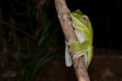 White-lipped Tree Frog (Litoria infrafrenata) (shaneblackfnq) Tags: whitelipped tree frog litoria infrafrenata shaneblack iron range lockhart river cape york peninsular queensland australia amphibian rainforest fnq far north tropics tropical