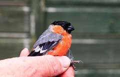 Bull Finch (Sophiee_webster) Tags: bullfinch finch uk northumberland nature wildlife naturereserve lowhauxley birdwatching birdbanding birdringing study bto conservation