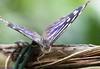 K46A8024 (Yvonne23021984) Tags: schmetterling butterfly hamm germany deutschland maxipark markro photography macrophotography canon canonphotography markofotografy canoneos7dmarkii insects insekten nature naturfotografie naturephotography closeup colorkey schmetterlinge butterflies
