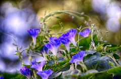 morning glories (kderricotte) Tags: helios40285mm15 bokeh morningglory flower plant outside depthoffield sonya6000