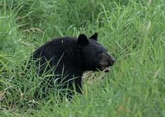 Big Boy (T0nyJ0yce) Tags: wild blackbear boar wildlife animals nature bears ursusamericanus mammals dusk
