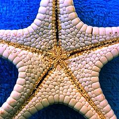 Starfish [explored] (theGR0WLER) Tags: explored explore white blue towel onthego hmm otg spain beach summer holiday ipad salt sea holidays underneath underbelly bottom starfish macro star stars macromondays