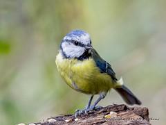 Blue Tit at Barnwell Country Park ( 3 ) 14/08/16 (johnatkins2008) Tags: bluetits gardenbirds woodlandbirds woodland wildlife wildlifephotography barnwellcountrypark johnatkins2008 wildbirds birdphotography