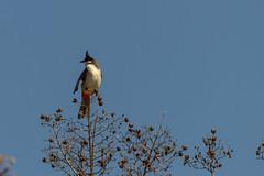 Bulbul (cupra1) Tags: bulbul native bird