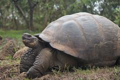 Giant Tortoise at Rancho El Chato 2, Galápagos, Ecuador