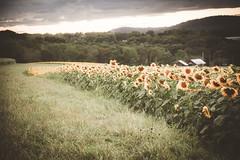 As far as the eye can see.... (trs125) Tags: fall sunflowers field farm serene peaceful barn barns