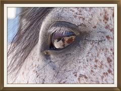 Pferdeauge (schwarzad) Tags: pferde augen tiere
