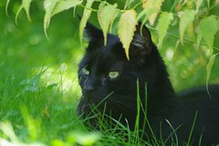 In The Shadow (frankbehrens) Tags: katze katzen kater cat cats chat chats gato gatos tom