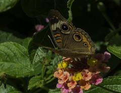 Butterfly_SAF6928 (sara97) Tags: copyright2016saraannefinke nature outdoors photobysaraannefinke saintlouismissouri towergerovepark butterfly insect flyinginsect pollinator