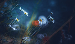 Daisies of the evening (Dhina A) Tags: sony a7rii ilce7rm2 a7r2 minolta rf rokkorx 250mm f56 mirror reflex minolta250mmf56 md prime rokkor bokeh