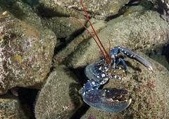 Homard (penelope64) Tags: plonge dive mer sea manche saintcast lacatis olympusem5 fisheye panasonic8mmfisheye homard