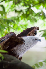 Eager (bdrc) Tags: eagle bird raptor wings spread tree branch asdgraphy animal creature nature life pant outdoor park sony a6000 minolta 75300mm f4556 tele zoom