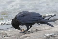 Carrion Crow (Corvus corone) (sdflickr2) Tags: cropston reservoir leicestershire carrion crow corvuscorone