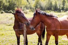 Horses (giuliano.parboniarquati) Tags: horses horse nature animal parco nazionale abruzzo italy italia animals animali camosciara love day summer