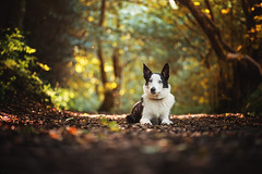 Bailey (TraceyDobbs86) Tags: portrait dog bordercollie puppy woods bokeh