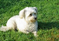 Snoopy (ute_hartmann) Tags: snoppy hund hndin nachbarn nachbarschaft