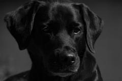 Black Buddy (Flemming Andersen) Tags: blackwhite animal bornholm buddy dogs hund labrador retriever allinge capitalregionofdenmark denmark dk