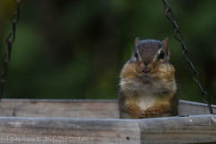 What do you mean someone ate the seeds? (Explored) (dbifulco) Tags: bird easternchipmunk feeder nature newjersey nikkor300f4pfed scoobie wildlife yard explored explore