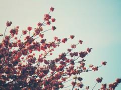 Remembering Spring (Jon-F, themachine) Tags: jonfu 2016 olympus omd em5markii em5ii em5mkii em5mk2 em5mark2  mirrorless mirrorlesscamera microfourthirds micro43 m43 mft ft     snapseed japan  nihon nippon   japn  japo xapn asia  asian fareast orient oriental aichi   chubu chuubu   nagoya  outdoors  nature  flower flowers   plant plants  flora sakura cherryblossoms cherryblossom   hanami  tree trees