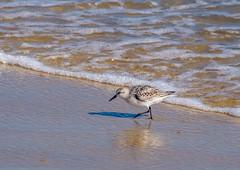 Sanderling (Shannonsong) Tags: shore bird sanderling calidrisalba wave seashore sea ocean beach nj springlake nature wildlife aves waterfowl seafoam sand