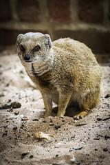 Mongoose (Wivelrod) Tags: marwell mongoose animal zoo