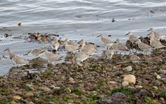 Knot (Chanonry Point) #1 of 2 (Steve Balcombe) Tags: bird wader knot calidris canutus winter juvenile chanonrypoint morayfirth scotland uk