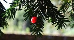 Yew berry (Chrispics Photography) Tags: farnham surrey st andrews church plants berries