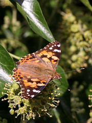 Painted Lady (chaz jackson) Tags: paintedlady vanessacardui vanessa nymphalidae butterfly macro insect nature
