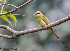 Chestnut Headed Bee Eater (VagrantWings @ Shalini Singh) Tags: bird chestnutheadedbeeeater shalinisingh tilwari vagrantwings