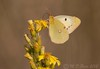 Berger's Clouded Yellow (Colias alfacariensis) (M.D.Parr) Tags: nature yellow butterfly insect spain europe butterflies insects lepidoptera cadiz tarifa martinparr bergerscloudedyellow theworldwelivein coliasalfacariensis martindparr mdparr