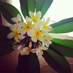 Frangipani Flowers... (amaryjill) Tags: flowers summer plant flower home nature beautiful leaves photography pretty decoration australia photograph frangipani vase decor iphone frangipanis iphoneography iphonographer instagram