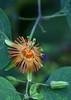 Passiflora jorullensis (Pablo Leautaud.) Tags: plants mexico flora unam plantae botany botanica herbario vegetacion edomex estadodemexico facultaddeciencias pleautaud fcme passiflorajorullensis