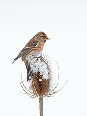 Male Lesser Redpoll (Carduelis cabaret) Perched On Snow Covered Teasel (Dipsacus fullonum)  Winter. Uk (PANDOOZY PHOTOS) Tags: uk winter snow male finch cabaret lesser redpoll fringillidae dipsacus fullonum carduelis