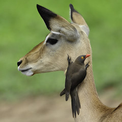 Impala with Red-billed Ox-Pecker (lyn.f) Tags: botswana impala chobe oxpecker redbilled buphaguserythrorhynchus