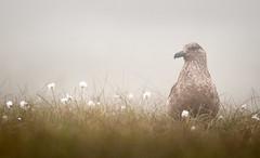 great skua in the mist (Mike Ashton) Tags: bird nikon shetlands