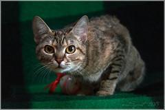 Striped cat (inSpirit_tk) Tags: cat graycat tabbycat stripedcat portraitofcat catwithyelloweyes